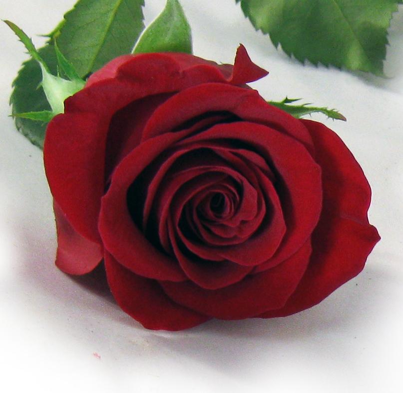 Rose maison montcalm fleuriste for Fleuriste rose