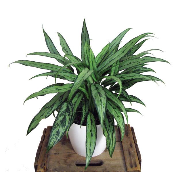 plante : aglaonema commune (verte et panachée vert pâle)