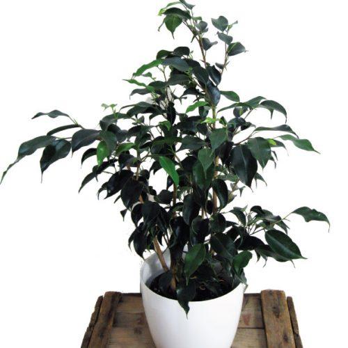 plante verte ficus benjamina