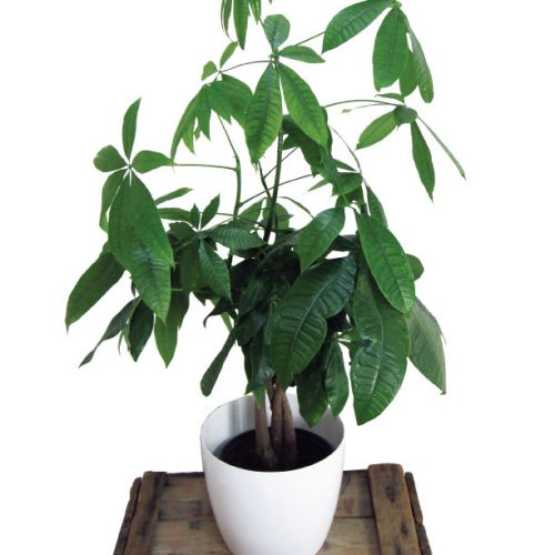 plante tressée : pachira (money tree)