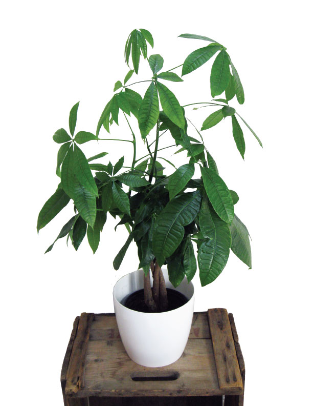 plante tressée : pachira (money tree)
