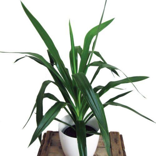 Plante verte de variété yucca