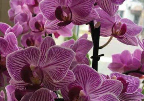 orchidee-rayee-fushia